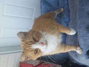 Orange and white cat foynd in Manitoba..searching for owner