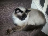 Ragdoll cat !