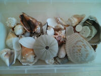 Vraies coquilles - Real seashells