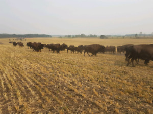 BISON BRED COWS