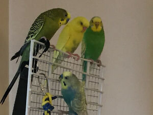 Looking for budgies and cage(s)