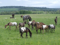 Some one to breed and raise Appaloosa weanlings