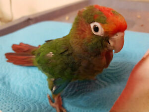 Baby Rose Crown Conure