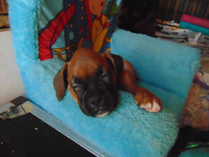 BOXER PUPPIES HOME RAISED WITH LOVE