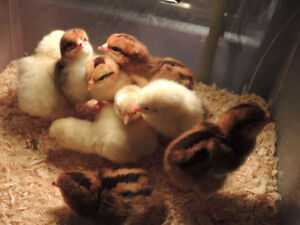 Spring Chicks and hatching eggs availablity