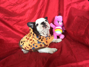 """""""Oliver"""" male French Bulldog Puppy Available"""