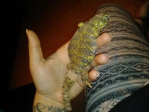 Selling Uromastyx (Yellow) Whole Turrarium Included !