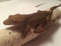 2 Gorgeous crested gecko females for sales