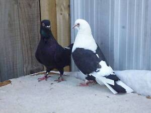 TUMBLER PIGEONS FOR SALE! Taylors Hill Melton Area Preview