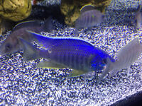 """4"""" full colour placidochromis jalo reef male cichlid for sale"""