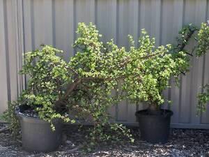 Dwarf Jade/Money plants (four available) Mount Hawthorn Vincent Area Preview