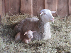 3 ewes with 3 ewe lambs for sale