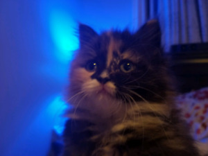 Persian Mix Kitten For Sale *PENDING PICKUP FOR TUESDAY, 22ND*