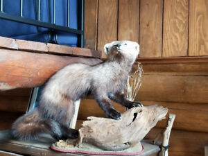taxidermie victoriaville