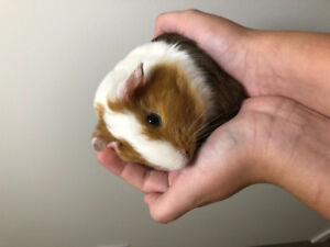2 bonded male guinea pigs - young!