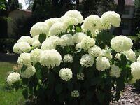 Hydrangea snowball perenial wanted