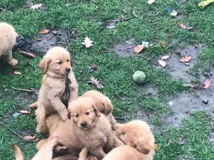Golden Retriever Pups - 2 girls, 1 boy left