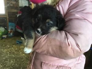 Border Collie/Australian Shepherd Puppies
