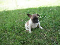 Fawn Pied French Bulldog Cross Puppies - Frenchton