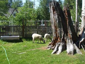 Katahdin ewe lambs