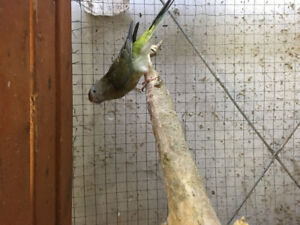 Cockatiels, Red Rumps and Love Birds for sale