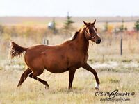 2 yr old Arabian colt. Working western, Endurance or Dressage