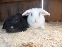 Holland Lop Bunnies :)