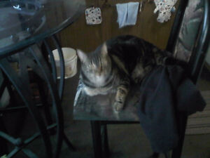 2 yrs  old Beautiful Classic/Marble spayed Female  Tabby