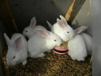 Meat rabbits for sale can come butchered