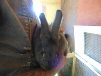 meat rabbits flemish giant new zealand cross