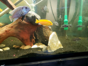 Cichlids for show tank.
