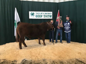 Quality Double Pld Fullblood,Purebred 16 Month  Limousin  Bulls