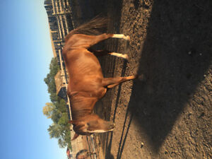 Here's a gelding for you!