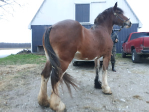 Nice Clydesdale mare