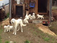Livestock Guardian Dog ( pups)