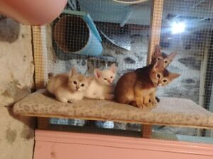 Superbe chatons ABYSSIN