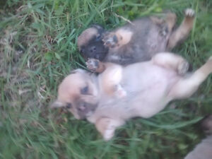 Puggle Puppies - Pug Father and Beagle Mother = Cute Pups