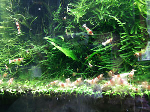 aquarium, shrimp, plants
