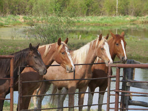 Tennessee Walking Horses