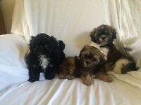 Teddy Bear Shichon Puppies! ( shih-tzu x bichon frise )