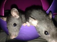 7 female rat pups for homes