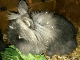 Bonded pair of lion head rabbits