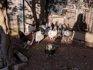 Sussex and Wyandotte chicken fertilled eggs