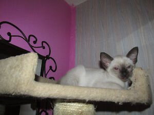 8 weeks old purebread siamese kittens selling, delivering