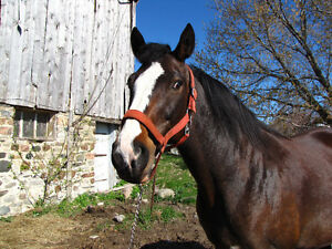 HANOVERION X THOROUGHBRED MARE Peterborough Peterborough Area image 4