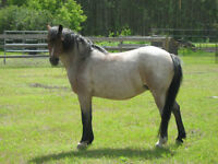 Welsh Pony Broodmare For Sale