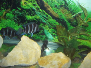 WC Mpimbwe Frontosa Breeding group / cichlids / aquarium