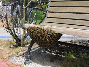 Wanted - Honey Bee Swarms