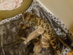 Bengal tica registered kitten