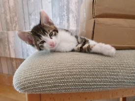 Kitten 1 beautifulboy left. READY NOW Monday 26th